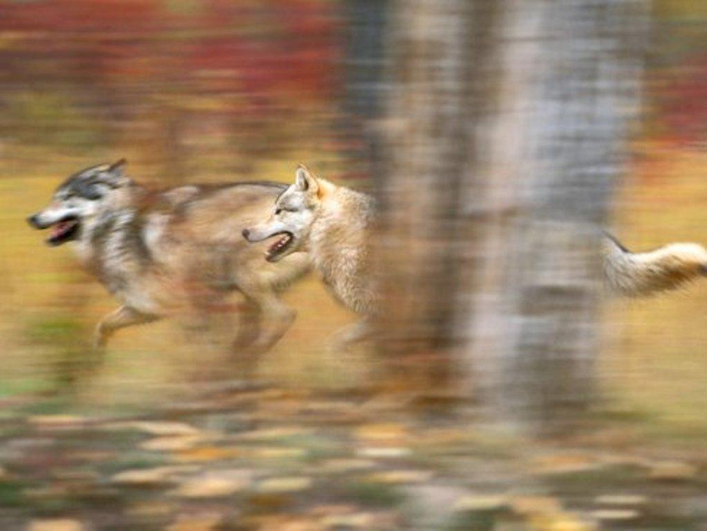 mini_grey_wolves_on_the_run-1600x-12001