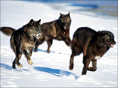 lobos-negros[1]